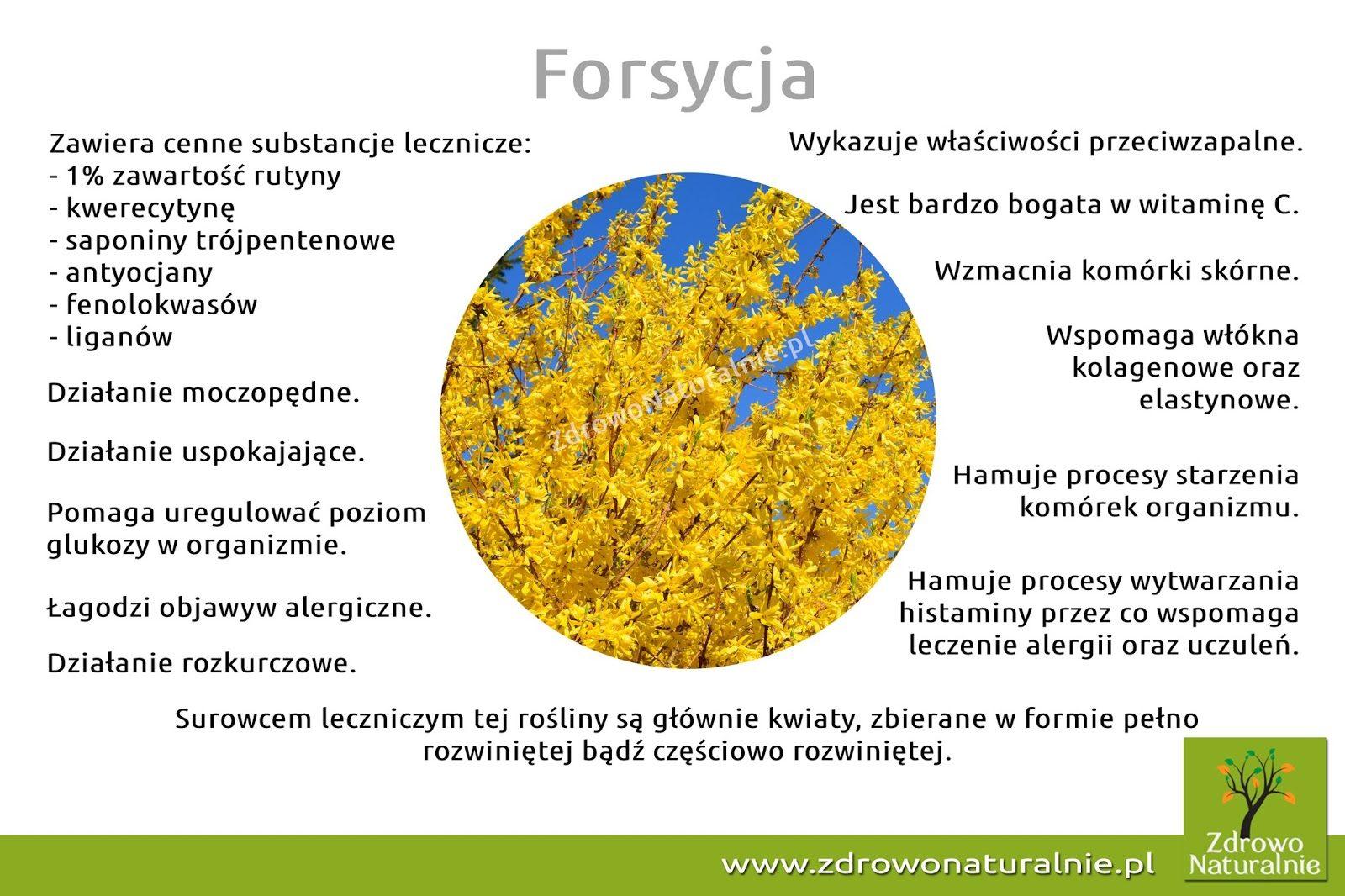 forsycja-1144467