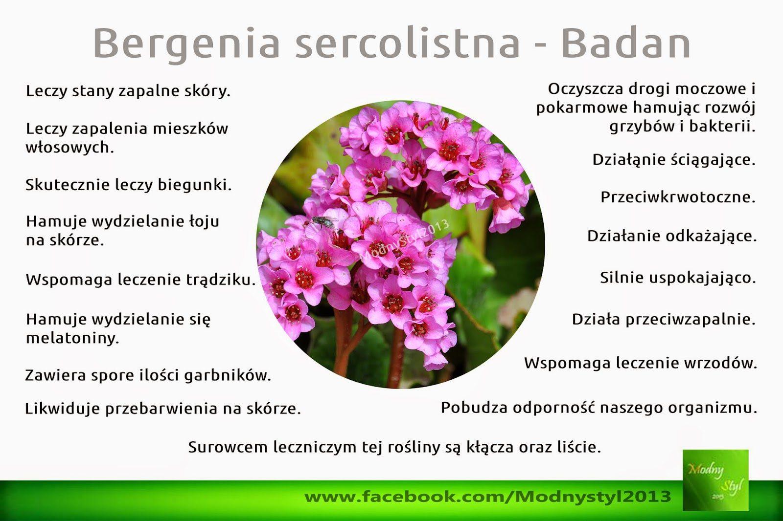 bergenia2bsercolistna-4252953