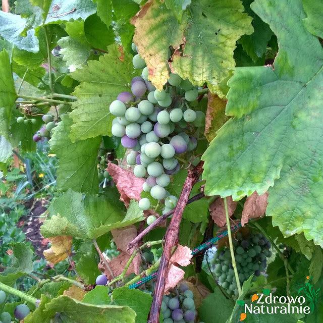 winogronsony-3821845
